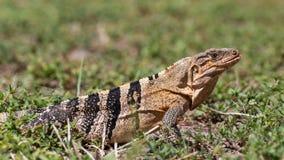 Μαύρο iguana σε έναν πράσινο τομέα, βασικό Biscayne, Φλώριδα Στοκ Εικόνα