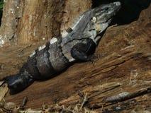 Μαύρο iguana Στοκ Εικόνες