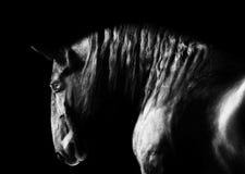 Μαύρο kladruby πορτρέτο αλόγων στο σκοτεινό υπόβαθρο, ο Μαύρος και Στοκ Φωτογραφίες