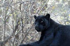 μαύρο leopard Στοκ Φωτογραφίες