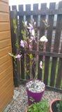 μαύρο magnolia άνθισης ανασκόπησης Στοκ εικόνα με δικαίωμα ελεύθερης χρήσης