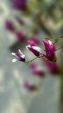 μαύρο magnolia άνθισης ανασκόπησης Στοκ Εικόνες