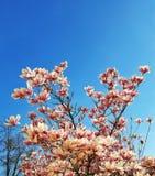 μαύρο magnolia άνθισης ανασκόπησης Στοκ εικόνες με δικαίωμα ελεύθερης χρήσης