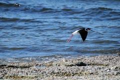 Μαύρο Necked ξυλοπόδαρο στη θάλασσα Καλιφόρνια Salton Στοκ φωτογραφία με δικαίωμα ελεύθερης χρήσης