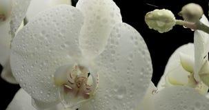μαύρο orchid ανασκόπησης λευκό απόθεμα βίντεο