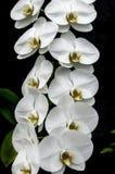 μαύρο orchid λευκό Στοκ Φωτογραφία