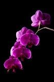 μαύρο orchid λουλουδιών ανασ Στοκ Εικόνες