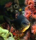 Μαύρο pacu ψαριών Στοκ φωτογραφίες με δικαίωμα ελεύθερης χρήσης