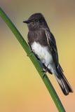 μαύρο phoebe Στοκ φωτογραφία με δικαίωμα ελεύθερης χρήσης