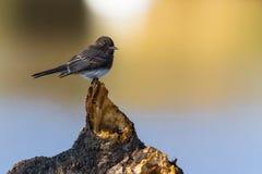 μαύρο phoebe Στοκ Φωτογραφία