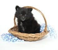 μαύρο pomeranian κουτάβι στοκ εικόνες με δικαίωμα ελεύθερης χρήσης