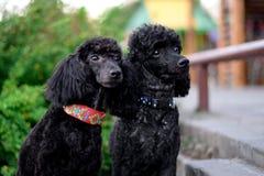 Μαύρο poodle καθίσματος δύο Στοκ Εικόνα