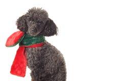 Μαύρο poodle παιχνιδιών που απομονώνεται στο λευκό Στοκ Φωτογραφία