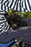 Μαύρο poodle που βρίσκεται στην περιτύλιξή της Στοκ εικόνα με δικαίωμα ελεύθερης χρήσης