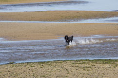 Μαύρο poodle που τρέχει μεταξύ των φραγμάτων άμμου σε εκβολή ποταμού Στοκ Εικόνες