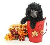 μαύρο poodle στοκ εικόνα