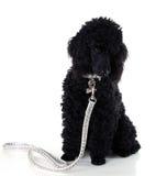 μαύρο poodle στοκ εικόνες