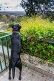 Μαύρο Retriever του Λαμπραντόρ στον πράσινο φράκτη στοκ φωτογραφία με δικαίωμα ελεύθερης χρήσης