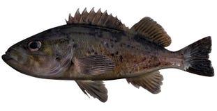 μαύρο rockfish διανυσματική απεικόνιση