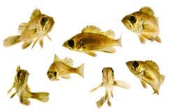 μαύρο rockfish στοκ εικόνα με δικαίωμα ελεύθερης χρήσης