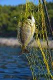 Μαύρο seabream που πιάνεται στο δίχτυ του ψαρέματος Στοκ Φωτογραφία