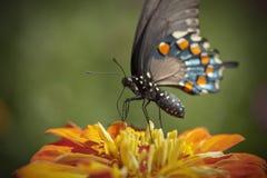 μαύρο swallowtail Στοκ Φωτογραφίες