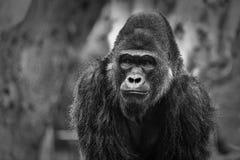 Μαύρο &white πορτρέτου γορίλλων στοκ φωτογραφίες με δικαίωμα ελεύθερης χρήσης