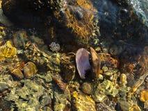 Μαλάκια και λαβίδα που ζουν στην πέτρα στοκ εικόνες