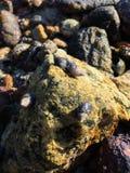 Μαλάκια και λαβίδα που ζουν στην πέτρα Στοκ Φωτογραφίες