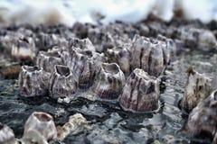 Μαλάκια σε έναν βράχο στην παραλία Στοκ Φωτογραφία