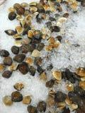 Μαλάκια Στοκ φωτογραφία με δικαίωμα ελεύθερης χρήσης
