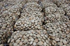 Μαλάκια Littleneck (antiqua Ameghinomya) Στοκ φωτογραφία με δικαίωμα ελεύθερης χρήσης