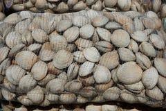 Μαλάκια Littleneck (antiqua Ameghinomya) Στοκ φωτογραφίες με δικαίωμα ελεύθερης χρήσης