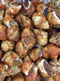 Μαλάκιο areolata Babylonia στον παγωμένο στάβλο Στοκ φωτογραφίες με δικαίωμα ελεύθερης χρήσης