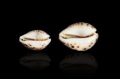 Θαλασσινό κοχύλι Cypraea Τίγρης. Στοκ εικόνες με δικαίωμα ελεύθερης χρήσης