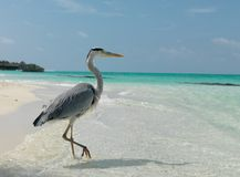 Μαλδίβες Ένα πουλί που στέκεται σε ένα πόδι στην παραλία ημέρα ηλιόλουστη Στοκ Εικόνες