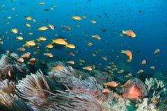 Μαλδίβες Anemonefish Στοκ φωτογραφία με δικαίωμα ελεύθερης χρήσης