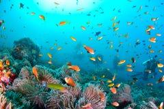Μαλδίβες Anemonefish Στοκ Εικόνες