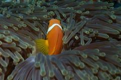 Μαλδίβες Anenomefish Στοκ Φωτογραφίες
