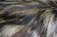 Μαλλί γατών Στοκ Εικόνα