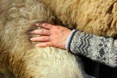 Μαλλί διάδοσης χεριών στα sheeps πίσω Στοκ Εικόνες