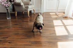 Μαλαγμένος πηλός σε ένα ξύλινο πάτωμα που εξετάζει τη κάμερα Στοκ φωτογραφία με δικαίωμα ελεύθερης χρήσης