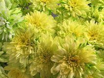 Μαλαισιανά λουλούδια χρυσάνθεμων Στοκ Εικόνες