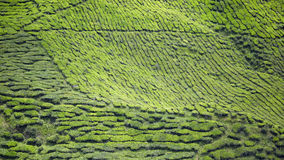 Μαλαισιανή μεγαλύτερη φυτεία τσαγιού, ορεινή περιοχή του Cameron Στοκ εικόνα με δικαίωμα ελεύθερης χρήσης