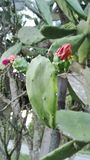 Μαλαισιανός κάκτος με το λουλούδι Στοκ Εικόνα