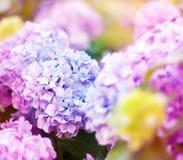 Μαλακά θολωμένα λουλούδια ενός ρόδινου hydrangea Στοκ φωτογραφία με δικαίωμα ελεύθερης χρήσης