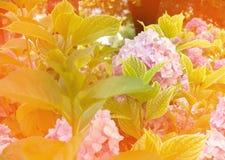 Μαλακά θολωμένα λουλούδια ενός ρόδινου hydrangea Στοκ Εικόνα