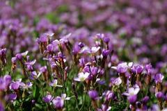 Μαλακά ιώδη λουλούδια Στοκ φωτογραφία με δικαίωμα ελεύθερης χρήσης
