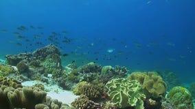 Μαλακά κοράλλια σε μια κοραλλιογενή ύφαλο απόθεμα βίντεο