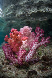 Μαλακά κοράλλια Στοκ εικόνες με δικαίωμα ελεύθερης χρήσης